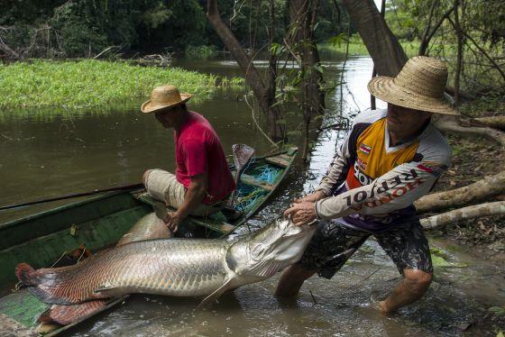 Pesca del pirarucú en aguas del Amazonas. / REUTERS