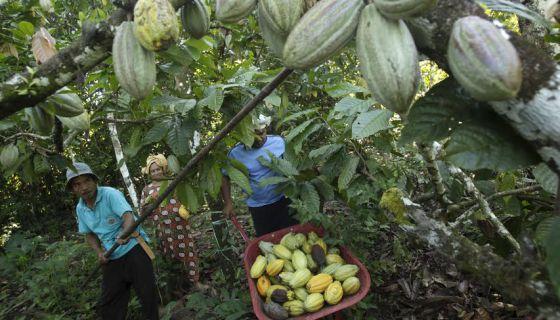 Una plantación de cacao en Indonesia. / REUTERS